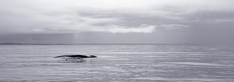 Blue whale, North Spitsbergen