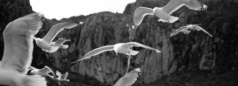 Seagulls in Trollfjord