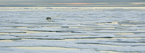 Polar bear on ice in Lancaster Sound