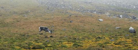 Reindeer in Recherchefjorden, Southwest Spitsbergen