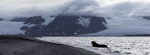 Walrus, Spitsbergen